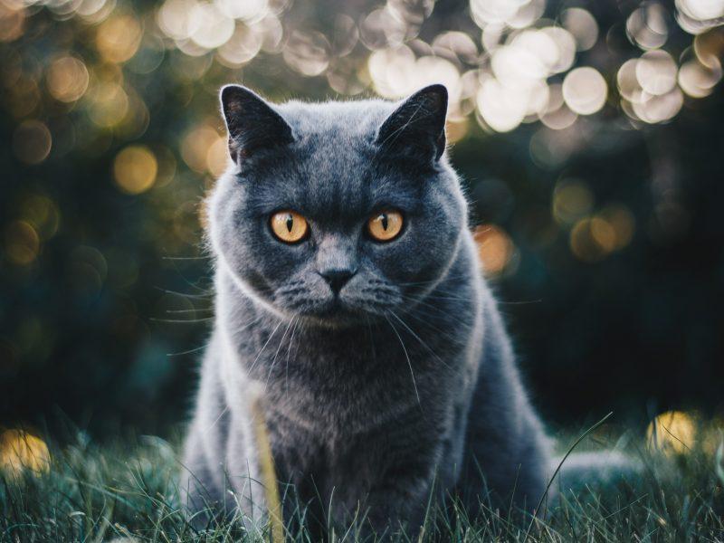 selective-focus-photo-of-grey-cat-1521304 (1)